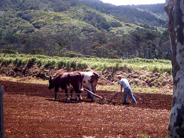 Mann pflügt das Feld mit einem Ochsenpflug