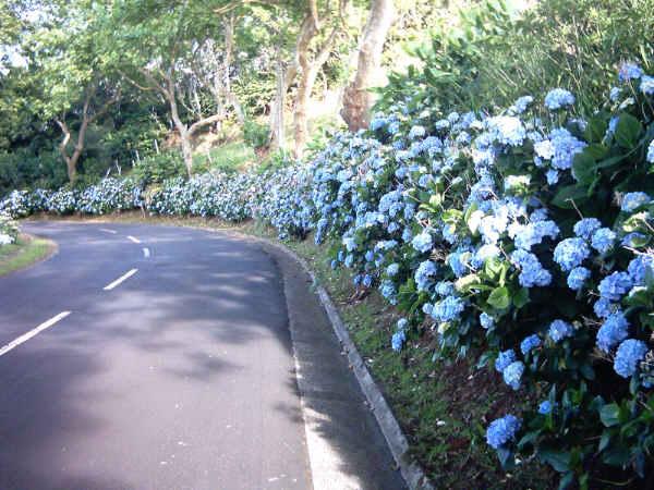 Hortensien blühen blau an der Straße entlang