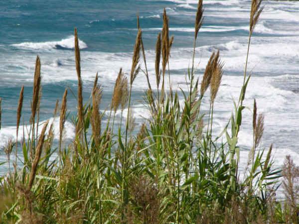 Blick auf das Meer durch Schilfgras